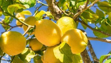 Plant your own lemon tree from seed More  plant lemon tree from seed to fruit lemon tree from seed no fruit lemon tree from seed indoor lemon tree from seed how long to fruit lemon tree from seed care lemon tree from seed lemon